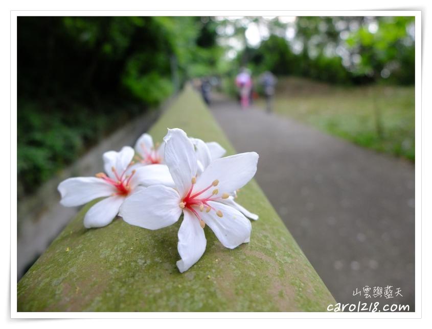 [台中外埔]水流東桐花步道~平緩好走景色清幽的賞桐看高鐵健行好地點