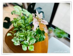 網站近期文章:好種好看又便宜的室內觀葉植物分享~心葉椒草、白金葛、粉紅佳人、綠精靈合果芋