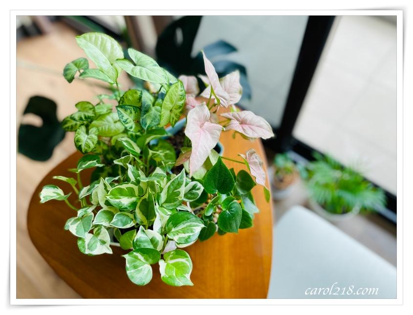 好種好看又便宜的室內觀葉植物分享~心葉椒草、白金葛、粉紅佳人、綠精靈合果芋