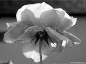 Rose (im eigenen Garten)