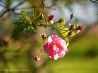 Rose (c) Carola Peters