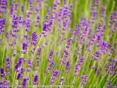 Lavendel auf der hohen Bastei (c)Carola Peters
