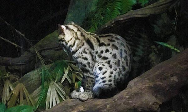 夜間動物園漁貓
