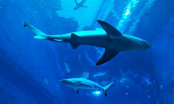 S.E.A.海洋館鯊魚