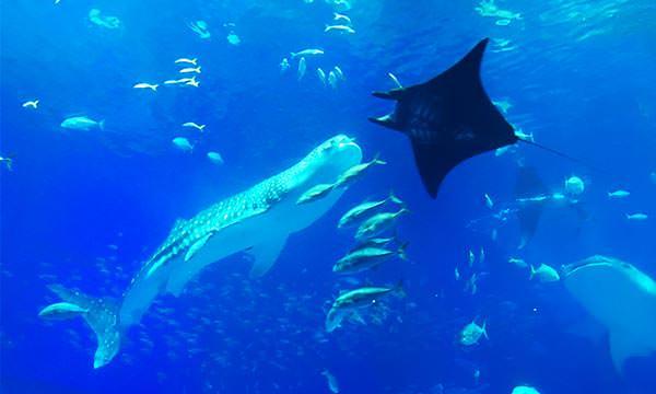 鯨鯊和鬼蝠魟