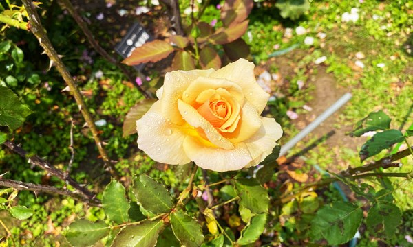有水珠的玫瑰花