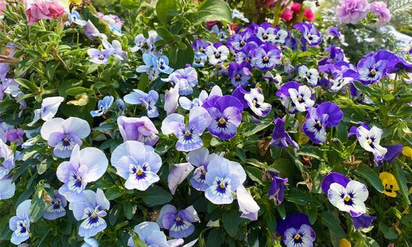 藍紫色的花海