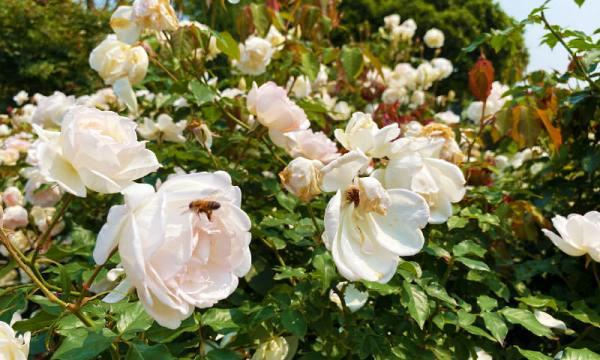 玫瑰花有蜜蜂在採蜜