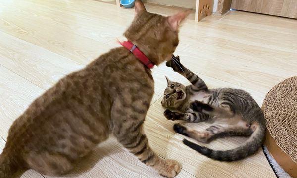 跟貓咪玩都貓棒