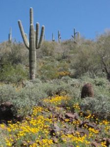 Saguaro cactus and a carpet of yellow, Mexican poppies.