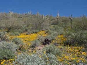 Desert booms, saguaro cactus, Lake Pleasant, Arizona