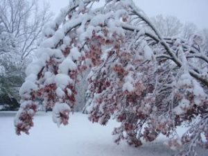 Magnolia tree bearing the weight of snow.