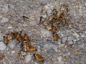 Butterflies clustered on the ground