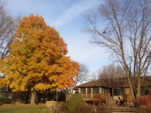 Maple tree & House