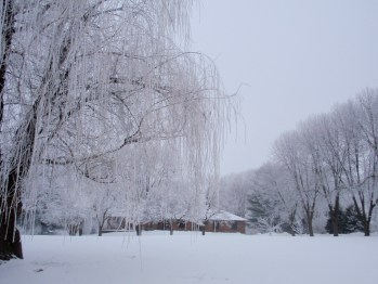 Willow tree - winter