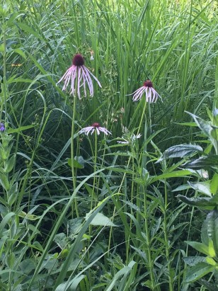 A pale purple coneflower also made its first appearance.