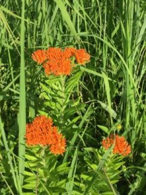 Butterfly milkweed is the only orange flower we see, and it's stunning.