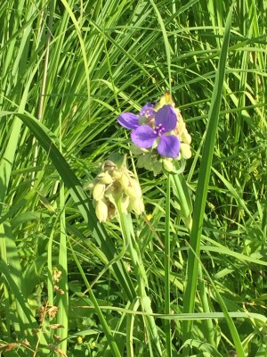 Spiderwort is one of the earliest flowers.