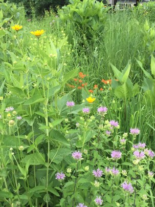 Wild bergamot, butterfly milkweed, and common sunflower - beautiful in combination.