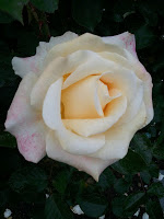 Rose_g_CU_ivory_pink_rose good