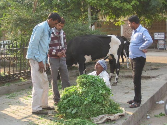Cow feeding station, Jaipur