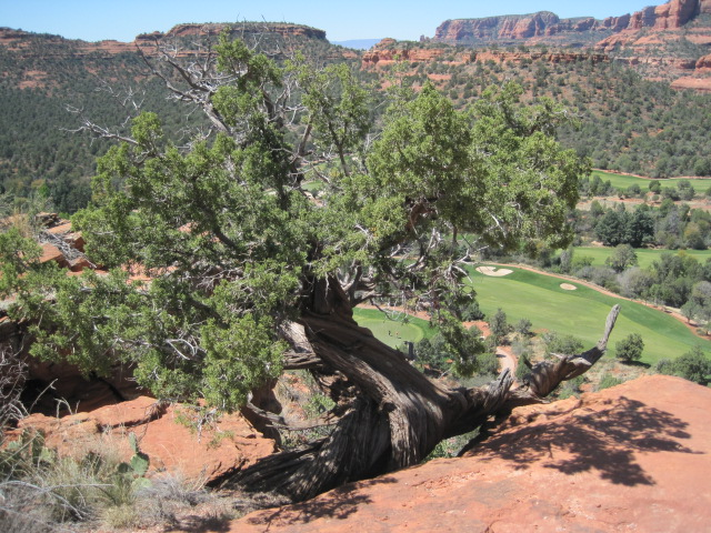 Twisted tree juniper
