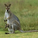 Kangaroo_(1)