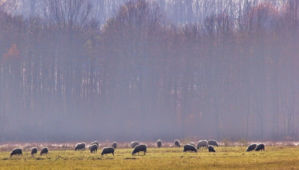 sheep graze