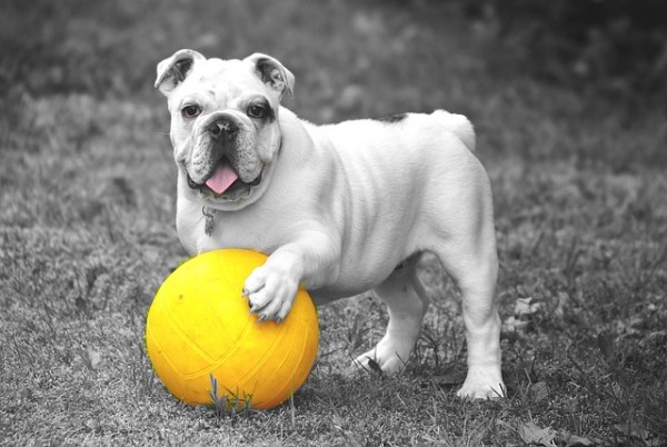 bulldog-601714_640