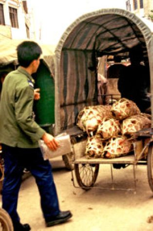 Pigs packed for the market