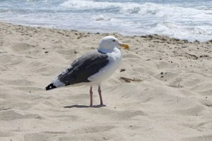 Our friend the patient gull
