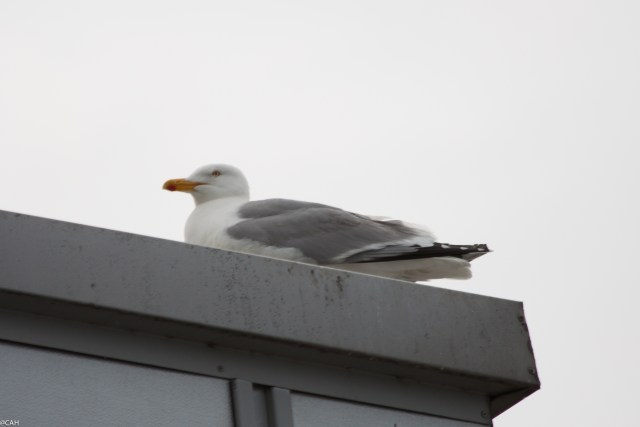 Seagull Birkenhead dock (1 of 1)