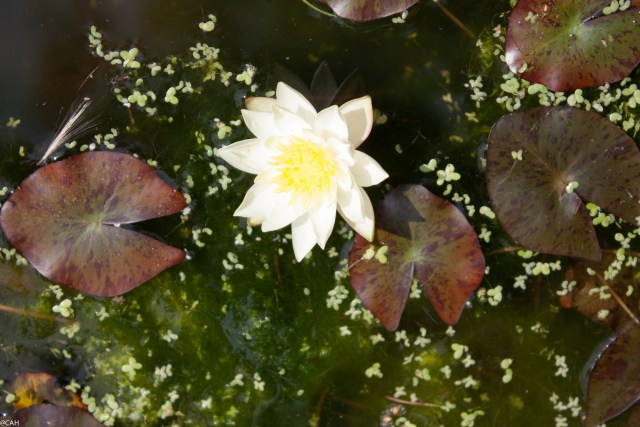Waterlily (1 of 1)