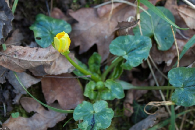 Celandine Smallwood 22 Feb 2016 (1 of 1)