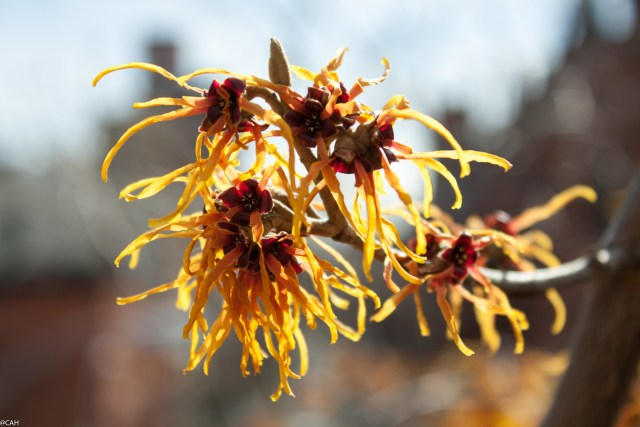 Hamamelis High Line 4 3 Mar 2016 (1 of 1)