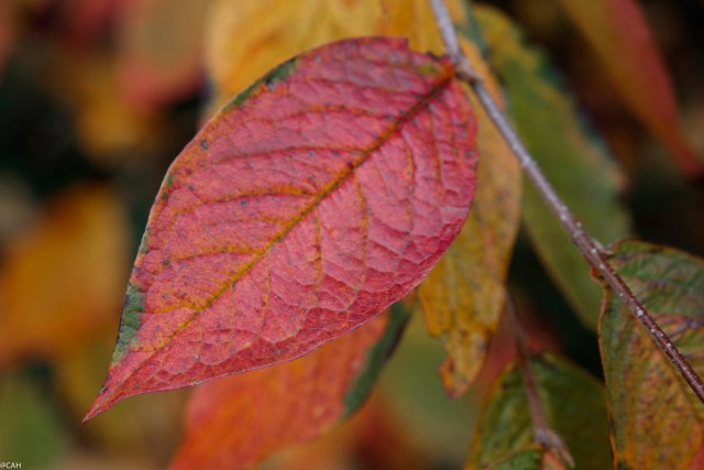 autumn-leaf-2-botanics-22-oct-2016-1