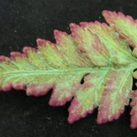 Natures Creations Fern Pin Med