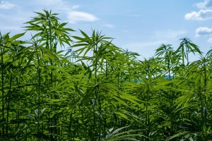 Hemp and CBD are a boon for our economy
