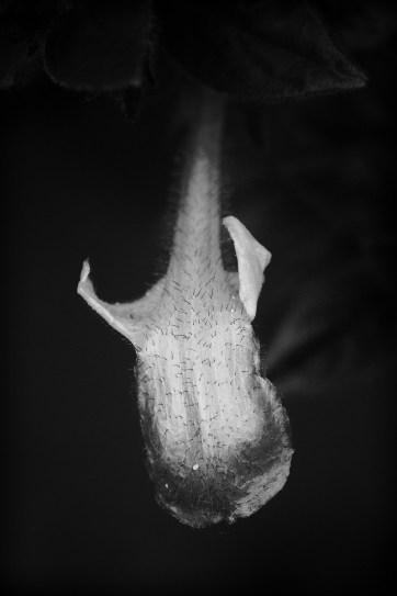 Shark-like flower. Conservatory of Flowers, SF.