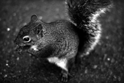 Japanese Garden squirrel.