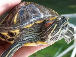 The Peril of Red Eared Sliders