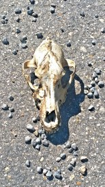 Skull on the road - bunch of wary dogs watching us, too