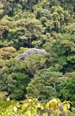 Trees in the cloud forest at 4,500 to 6,000 feet above sea level