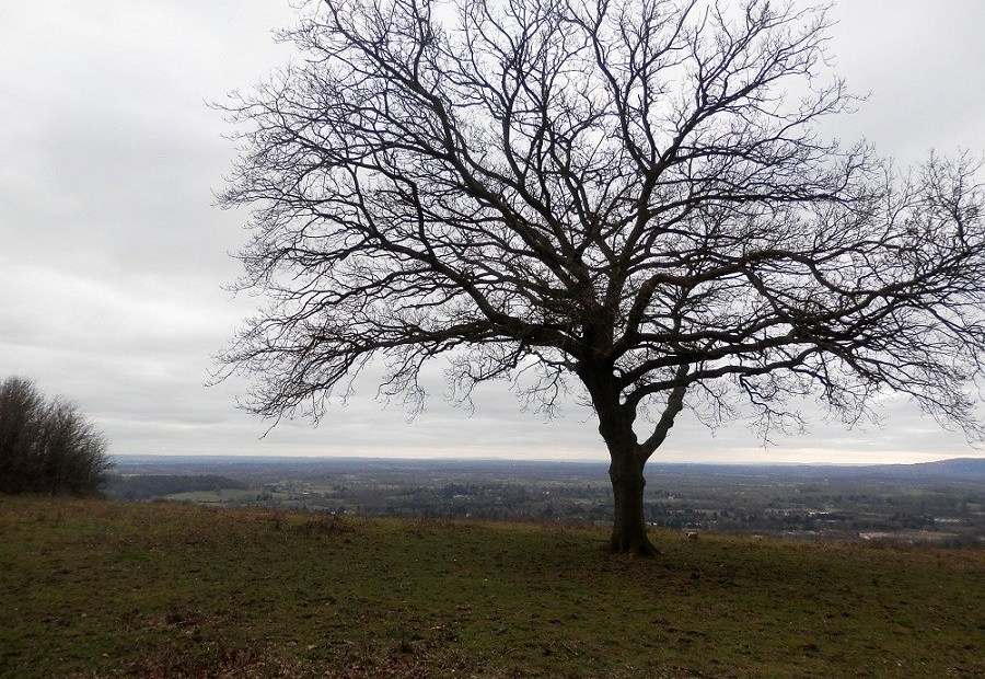 Tree, Reigate Hill, Surrey countryside, nature