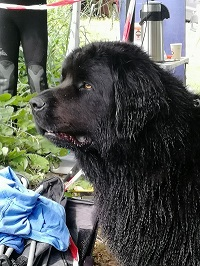 Newfoundland dog, water rescue dog, Newfie
