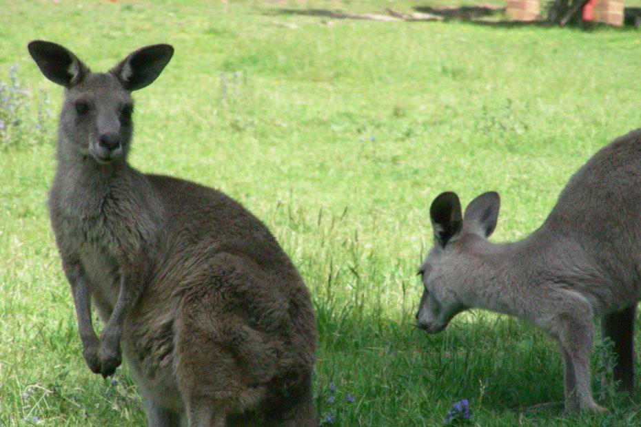 Wild kangaroos in Australia