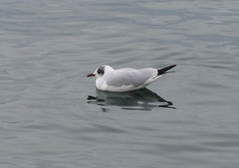 Recencement des oiseaux d'eau hivernants (5/6)
