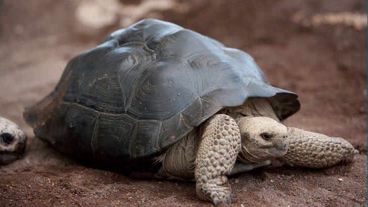 Giant tortoise on the Galápagos Islands off of Ecuador