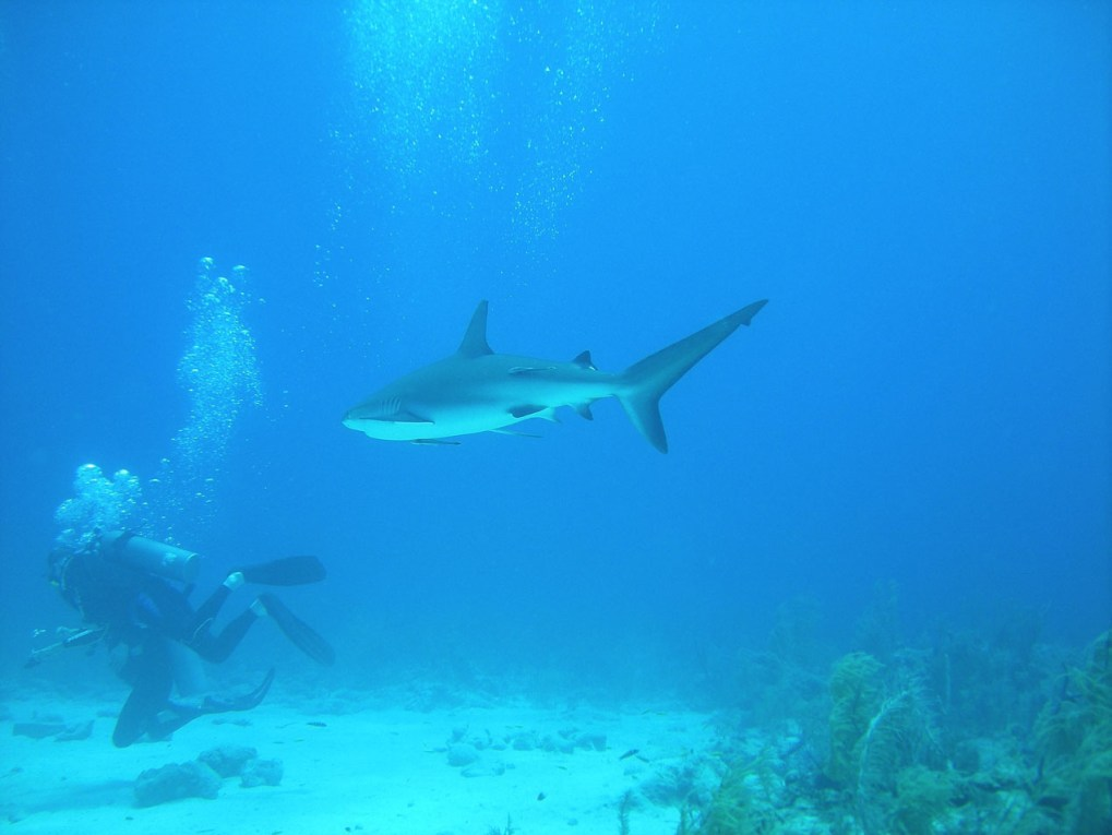 Scuba diver with shark in The Bahamas