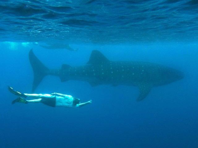 Snorkeler underwater near large whale shark catamaran HEMISPHERE